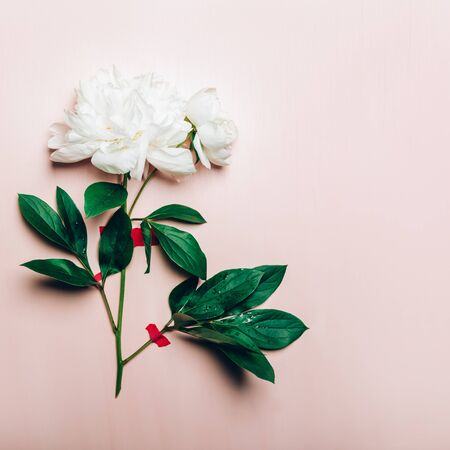 Amazingly beautiful white Peony taped to light pink background. Card Concept, copy space for text Фото со стока