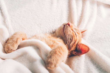 Cute little ginger kitten sleeps on its back on white soft blanket 스톡 콘텐츠 - 152744967