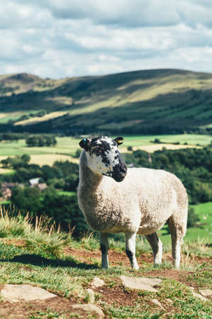 Beautiful sheep closeup with field view on Edale village and Mam Tor at Peak District National Park, England, UK. Staycation concept of traveling local