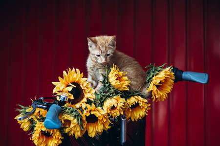 Close up of Vintage framed bicycle with ginger kitten and sunflowers in basket standing on red background