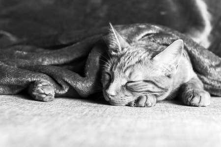 Cute little ginger kitten sleeps on the sofa under grey soft blanket, black and white photo