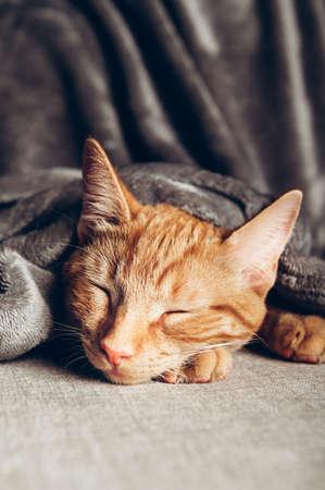 Cute little ginger kitten sleeps on the sofa under grey soft blanket Stock fotó