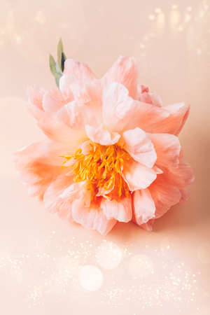 Amazingly beautiful pink Peony on light pink background. Card Concept, copy space for text