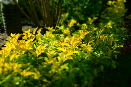 yellowish green plants in garden Stock Photo