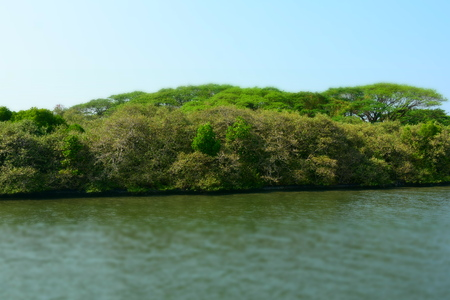 mangrove forest in the back waters of the river in kerala
