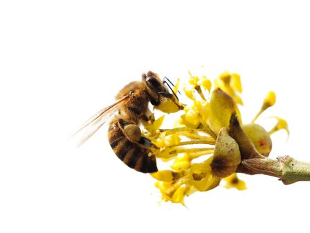 Isolated bee on a flower. Cornelia cherry. Stock Photo - 6308915