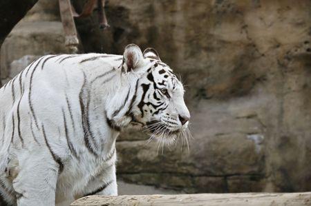 White tiger portrait. photo