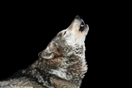 wolf: Wolf howl. Isolated on a black background