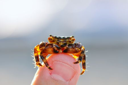 shined: Crab shined with the sun on a finger Stock Photo