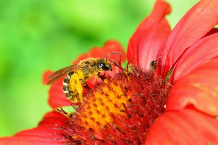 Bee on a red flower  Macro Stock Photo - 14125542