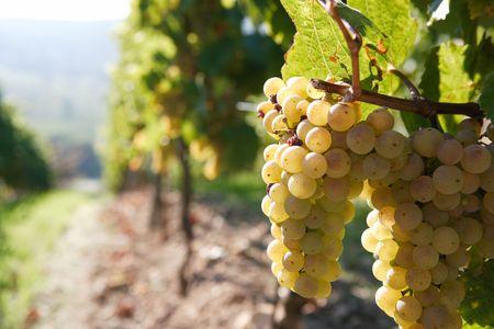 white grape on the vine, back lit