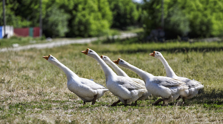 Domestic geese on a walk through the meadow. Rural landscape. White domestic Geese are walking. goose farm. Home goose.