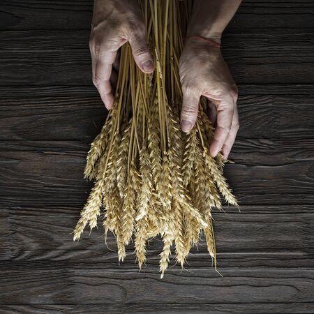 Bakery Concept. Grain spikelets in female hands. Baking Breads.