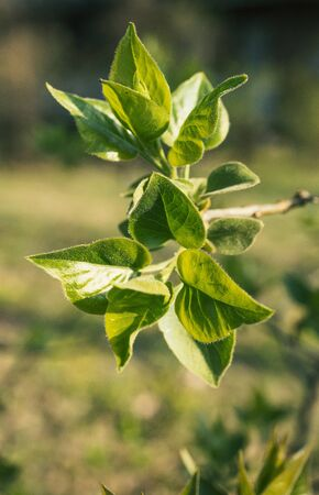 Fresh green leaves on a branch of lilac bush
