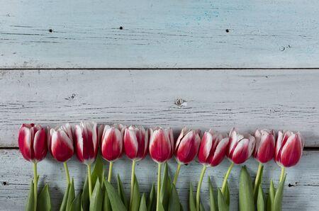 木制的蓝色背景与红色郁金香。美丽的春天背景与复制空间。