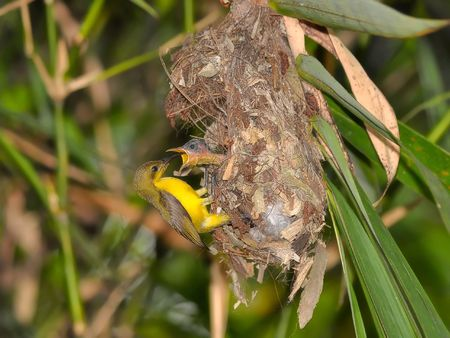 The caring of sunbird feeds its chick.