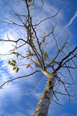 The dead tree with dry leaf