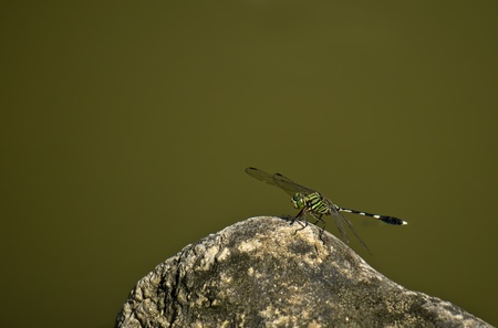 dragon-fly on rock photo