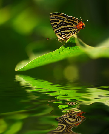 colourful butterfly on leave. digital compositing with colour tone, water reflection and ripple effects.