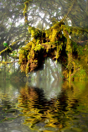 mossy forest tree reflected on water