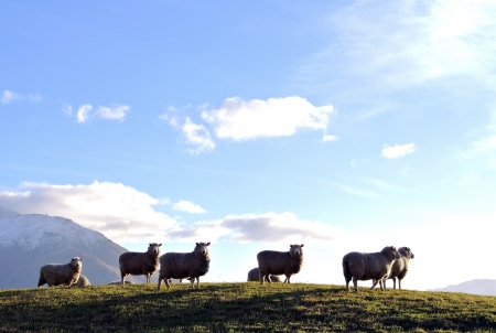 Sheep under the sun photo
