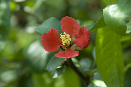 infarction: Chaenomeles Speciosa Stock Photo