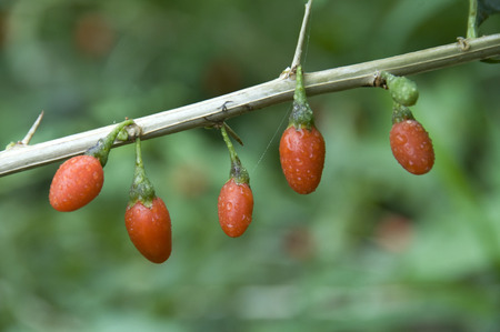 wolfberry: Chinese wolfberry