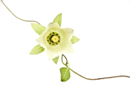 Close up to white flower on isolated white background