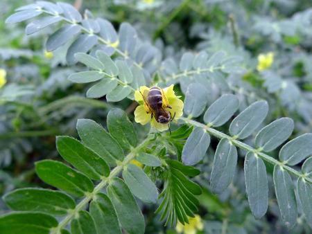 plantas medicinales: Material de Tribulus terrestris l planta de plantas medicinales flores