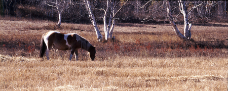 mongolia horse: Inner Mongolia , horse with birch trees  Stock Photo