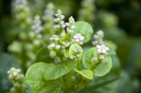 chinese spinach: malabar spinach