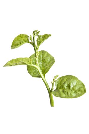 medicinal plants: Medicinal plants in Malabar spinach Stock Photo