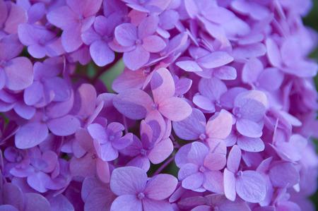 ornamental bush: Hydrangea close-up