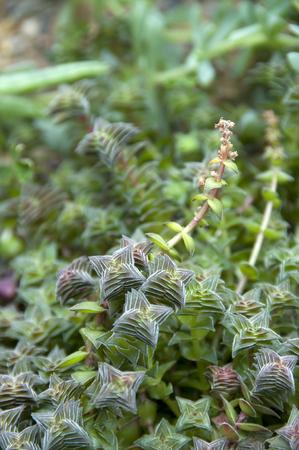genera: succulent plants
