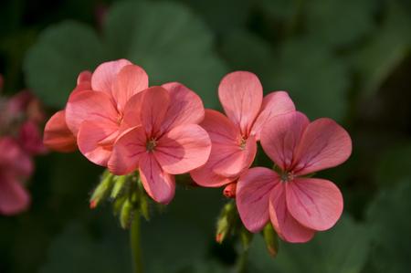 plantas medicinales: Las plantas medicinales de geranio