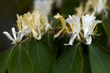 medicinal plants: Medicinal plants of Flos lonicerae