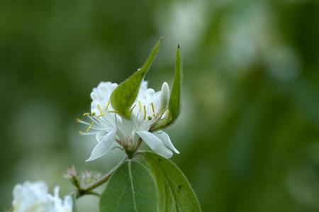 lonicerae: Medicinal plants of Flos lonicerae