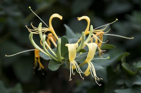 horizontal format horizontal: Medicinal plants of Flos lonicerae