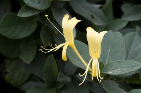 plantas medicinales: Las plantas medicinales de Flos Lonicerae