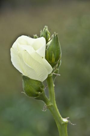 plantas medicinales: Las plantas medicinales de la okra