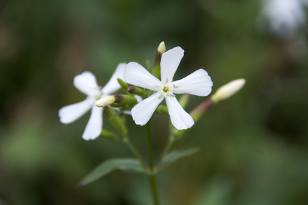 plantas medicinales: Plantas medicinales Soapwort Foto de archivo