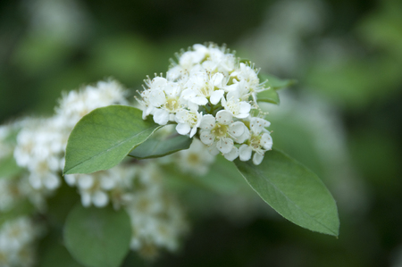 gill: Pyracantha fortuneana Stock Photo