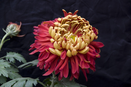 chrysanthemum: chrysanthemum Stock Photo