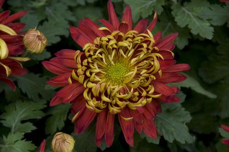 plantas medicinales: vuelta de oro rojo de las plantas medicinales de las flores de crisantemo
