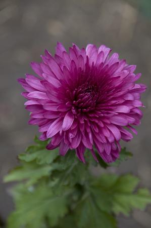 plantas medicinales: Las plantas medicinales de flores rojas del crisantemo