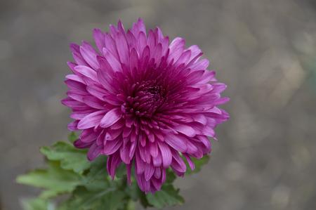plantas medicinales: Las plantas medicinales de plantas de flor del crisantemo