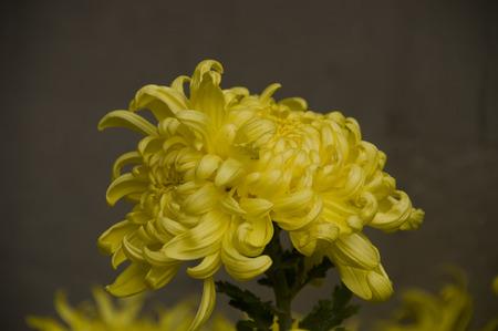 medicinal: Yellow chrysanthemum plants medicinal plants Stock Photo