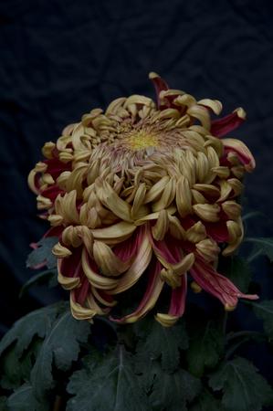 plantas medicinales: Las plantas medicinales de las flores de crisantemo