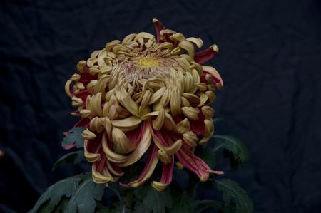 plantas medicinales: Plantas medicinales - Crisantemo (hierbas medicinales chinas)