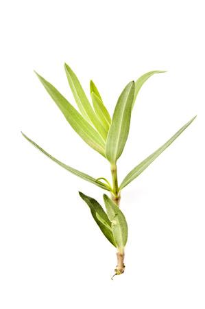 plantas medicinales: materiales medicinales chinos de plantas plantas medicinales Polygonatum Foto de archivo